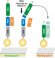 SPR-based assay for study of RNase H activity.